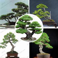 Wholesale Perennial evergreen tree seeds Japanese pine bonsai tree seeds holly leaf pine seed bag