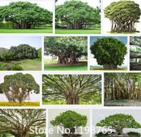 Cheap banyan seeds Best tree seeds