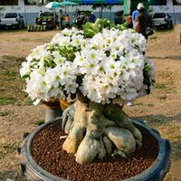 Flower Seeds adenium seeds - Hot Selling White Desert Rose Seeds Bonsai Plants Adenium Obesum Flower Seeds for Home Garden