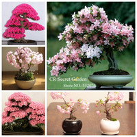 Wholesale YY FARM high sprout rate pc pink Japanese Sakura Seeds Serrulata Cherry Blossoms living room bonsai tree Sakura flower seeds