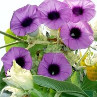 baby creepers - 20 HAWAIIAN BABY WOODROSE Elephant Creeper Wolly Morning Glory Argyreia Nervosa Vine Flower Seeds beautiful gardens TT362