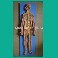 anatomical systems - HOT Nervous System Model Anatomical Model of the Nervous System human Nervous System model