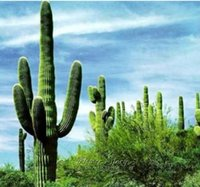 bees plants - 100 Giant Cactus Seeds Flower DIY Garden Plant Favorites of Butterflies Useful Bees