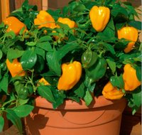 bell pepper flowers - Home Garden Plant Seeds non gmo orange sweet bell peppers Mohawk Sweet Pepper vegetable seeds