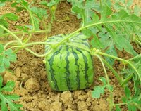 Wholesale 50 SQUARE WATERMELON SEEDS SWEET FRUIT SEEDS NEW GENERATION SCARCE HOME GARDEN BACKYARD PRECIOUS HEIRLOOM