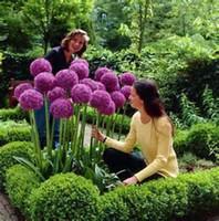 allium flower - 100 Purple Giant Allium Giganteum Beautiful Flower Seeds Garden Plant the budding rate rare flower for kid