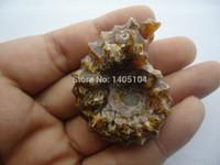 antique shoe horn - Super Top Polished quot Goat Horn quot Douvilleiceras Ammonite Fossil Specimen g g