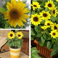 sunflower seed - Cheap potted dwarf sunflower seeds Color packaging seeds about particles