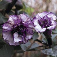 garden angels - 30 Black Angel Trumpet Datura Seeds Flower DIY Visually Stimulating Layouts Garden