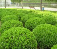 balls seeds - 20 juniper balls potted flowers purify the air absorb harmful gases DIY home garden plant SS054