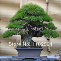 Wholesale Japanese Black Pine Seeds Pinus Thunbergii Bonsai Ornamental Hardy