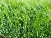 barley seed - 10 Seeds Garden Plant Hordeum vulgare common barley Vierzeilige Gerste herb Seeds