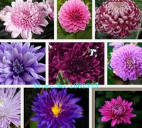 asters flowers - China Aster Flower Seeds Mixed Color Chrysanthemum seeds about particles
