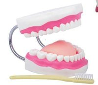 art presentations - TDOU Full Mouth Model Tooth Teaching Model Dental the High grade Presentation Flesh Pink