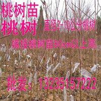 Wholesale peach peach peach seedling seedlings nursery seedlings of peach seedlings could direct sales accounted for Mao Taoshu