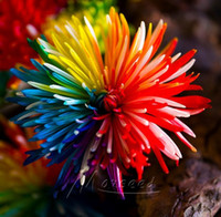 Wholesale Non Hybrid Rainbow Chrysanthemum Seeds Flower Richly Flowering Garden