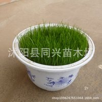 Wholesale The United States of Sijiqing slope grass lawn grass seed seed sowing seeds without pruning trampling resistance