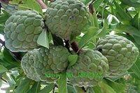 best quality seeds - Hot kinds Soursop Seeds Organic Heirloom Seeds Fruit Seeds NON GMO Best Quality Price