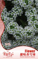 alyssum plant - 70 bag Perennial fragrant plant Sweet alyssum Seeds Easy Grow Cold resistant Aromatic Plant Seeds bags per