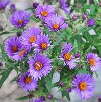 aster perennial - NEW ENGLAND ASTER Aster seeds novae angliae PERENNIAL garden decoration plant P40