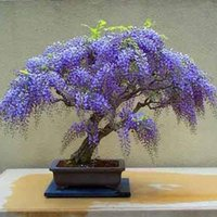 Wholesale Wisteria seeds bonsai Wisteria sinensis tree true seed in kind shooting bag