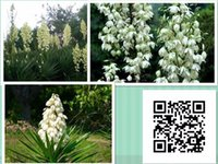 beautiful dagger - Widely Cultivated Yucca Gloriosa Seeds Beautiful Family Asparagaceae Flower Seeds Flowering Plant Spanish Dagger Seeds