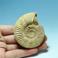 ammonites fossils - Natural Pavlov Ammonites Conch Ancient Extinct Life Fossil Original Stone Animal Fossil Product Phase Very Nice Special