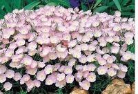 3000pcs набор розовый цвет энотеры, семена цветов ДОМ САД DIY ХОРОШИЙ ПОДАРОК ДЛЯ ДРУГА Пожалуйста лелеять