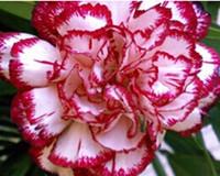 3000pcs в комплект цветок гвоздики семян красный с розовым двойной цвет дома сад DIY хороший подарок для вашего друга Пожалуйста, лелеять