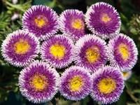 aster perennial - 30 seeds pack LIGHT BLUE POMPON ASTER PERENNIAL FLOWER SEEDS