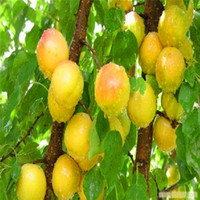 apricot fruit trees - 5 Apricot tree Seeds Perennial Plants Fruit Tree Anti5aging Fruit Seeds for Home Garden A025