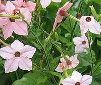 300pcs в комплект розовый цвет табак крылатый цветок семена дома сад DIY хороший подарок для вашего друга Пожалуйста, лелеять