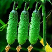 Wholesale 2016 Cucumber Seeds Sowing Seeds Wrapped Kinds Of Vegetables And Fruits Balcony Potted Vegetables Dedicated Healthy Fruits And Vegetables