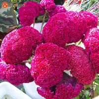 beautiful patios - 200 Pieces Elegant and Beautiful Rose Red Celosia Flower Seed Patio and Garden Potted Flower Seeds