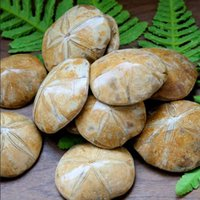 age antiques - 100g Natural JURASSIC Madagascar SEA BISCUIT URCHIN FOSSIL sand dollar Star Fish Dinosaur Age
