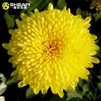 beautiful plant pots - 100 bag Beautiful Yellow Chrysanthemum Seeds Chrysanthemum Morifolium Seeds Flower Potted Plant for DIY Home Garden