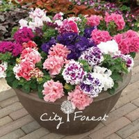 baskets and containers - Double Petunia Flower Seeds Mixed Color Ideal Garden Flower for Flower Beds Baskets and Containers Bonsai