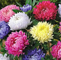 asters flowers - 50 Seeds Chinese Aster Seeds Callistephus give you a garden full of bright summer big flowers orginal package