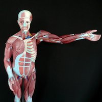 Wholesale Human Muscular Figure skeletModel part Life Size brain skeleton for gum fun in shadow dental implant prices in trauma