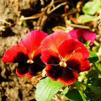 Wholesale 50 Red Pansy Flower Seeds Viola Tricolor