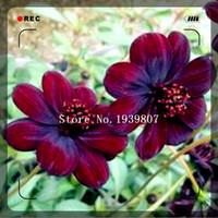 Wholesale Rare Chocolate Cosmos Flower Seeds Blooms all summer long and has rich scent like chocolate DIY Home Garden flower Seeds pack