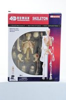 Wholesale 4 D MASTER model assembled human skeleton model medical anatomy