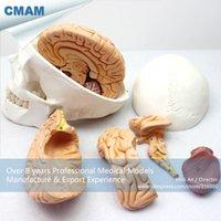 anatomical brain models - CMAM SKULL01 Brain Removable Human Skull Anatomical Education Models