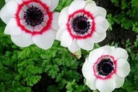 anemone flowers - 5pcs a set single petal double color Anemone cathayensis Kitag Flower Bulb real Reasonable Price And Good Quality Home Garden