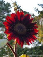 sunflower seeds - 20 Sunflower quot Velvet Queen quot Seeds Ornamental Beautiful Annual
