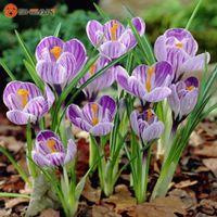 Wholesale Netherlands Saffron Flower Seeds Rare Plant Bonsai Organic Flower Seeds Flowering Plants Particles