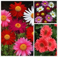 beautiful blooms - 200 Gorgeous Painted Daisy Seeds Beautiful Mulit Colored Blooms Decorate your garden