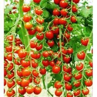 al por mayor semillas vegetales-100seeds / bag Terraza del patio tomates plantados tomates cherry frutas semillas vegetales tomates cherry rojo