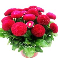 Wholesale English Daisy Red Color Flower Seeds Bellis Daisy Easy to Grow