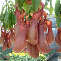 Wholesale 200pcs catch fly mosquito Nepenthes seeds Bonsai eat mosquito varieties of seed plants mixed patio balcony plant flowers seeds